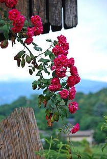 Rosenparadies... by loewenherz-artwork