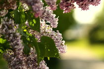 Shades of lilac by zlange
