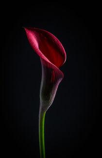 purple Calla Lily by Tim Seward