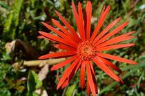 'rote Blume' by art-dellas
