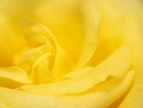 Rosentraum in gelb von kerliham-foto