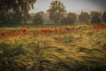 'Getreidefeld mit Klatschmohn am Abend' von Christine Horn