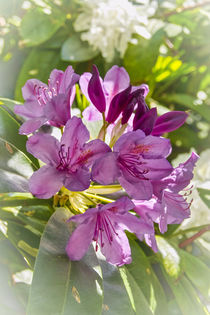 RHODODENDRON (rhododendron) by helmut krauß