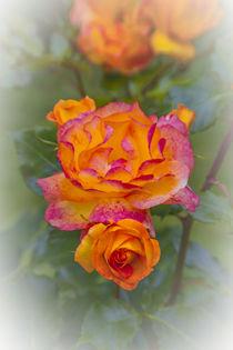 ROSEN (rosa) von helmut krauß
