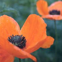 Poppies after rain von Andrei Grigorev