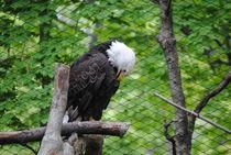 Eagle, 2017