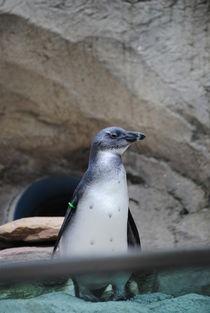 Curious Penguin, 2017