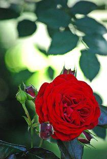 gefüllte Rosen... 3 by loewenherz-artwork