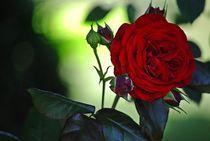 gefüllte Rosen... 2 by loewenherz-artwork
