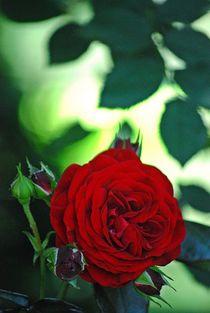 gefüllte Rosen... 1 by loewenherz-artwork