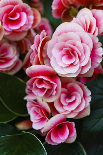 Blushing Pink Roses von FirstName LastName