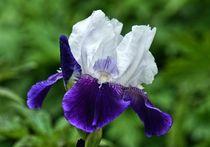 Weiß lila Lilienblüte 3 by kattobello