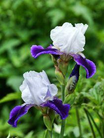 Weiß lila Lilienblüten von kattobello