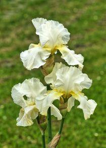 Weiß gelbe Lilienblüten von kattobello