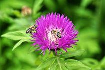 Honigbienen auf rosa Blüte von kattobello
