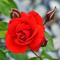 Rote Rosenblüte mit Knospen von kattobello