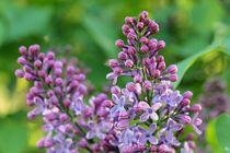 Violet Summer by Heidi Piirto