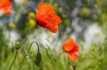 Mohnblumen auf sonniger Wiese von micha-trillhaase-fotografie