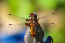| DRAGON -FLY | by franziskus