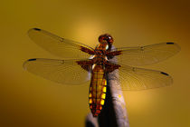 | Amber-Dragon-Fly | by franziskus