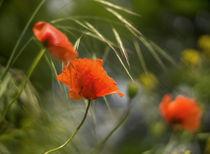 Leuchtende Mohnblumen by micha-trillhaase-fotografie