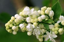Lilac von Heidi Piirto