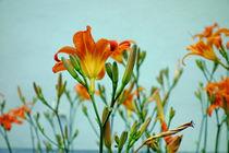 Feuerlilien - Werden und Vergehen von Hartmut Binder