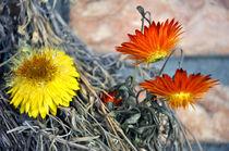 Strohblumen von Heinz Munk
