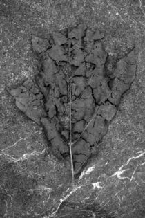 Decaying leaf on Rock by Jim Corwin