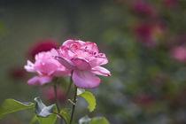 Pink Rose by Petra Dreiling-Schewe