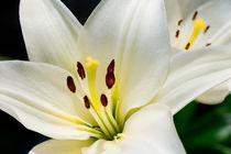 Weiße Lilie 20 von Erhard Hess