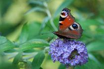 Pfauenauge auf Schmetterlingsflieder von Thomas Sonntag