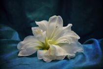 Amaryllis in blue by Claudia Evans