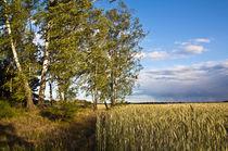 Goldenes Getreidefeld mit Birken am Feldrand  von captainsilva