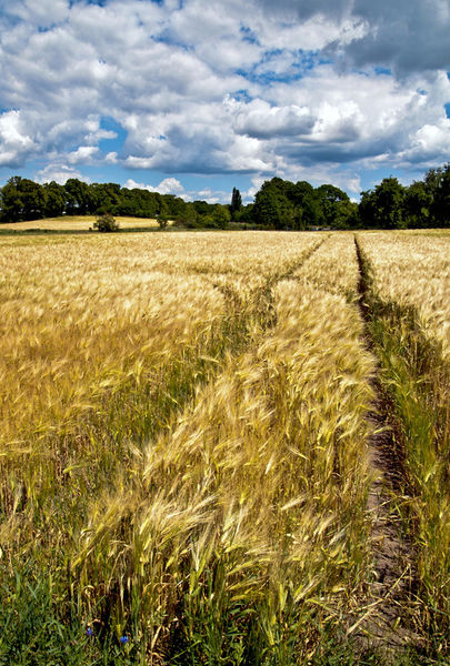Golden-wheat-field-poetry