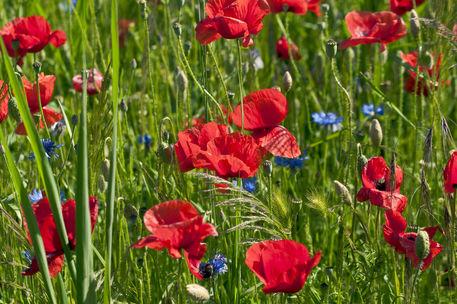 Rotes-mohnfeld-mit-blauen-kornblumen