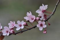 Kirschblüte von Thomas Sonntag