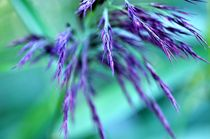 Leuchten der Natur - Violett von Thomas Sonntag