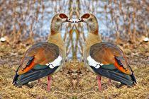 Nilgänse Zwillinge by kattobello
