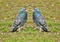 Tauben Tanz von kattobello