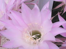 Rosa Kaktusblüte von Sarah Ziegler