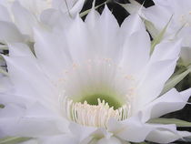 White Cactus Flower by Sarah Ziegler