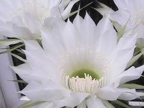 Weiße Kaktus Blüte von Sarah Ziegler
