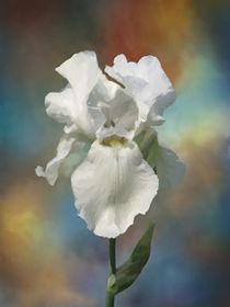 White Iris by Elena Oglezneva