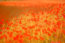 poppies von Daniel Burdach