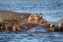 Nilpferde im Chobe- Fluss in Botswana. von Frauke Scholz
