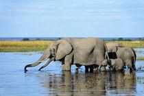 Elefanten im Chobe Fluss in Botswana. von Frauke Scholz
