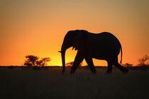 Elefant im Sonnenuntergang von Frauke Scholz