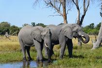 Elefanten beim Trinken von Frauke Scholz