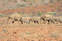 Wüstenelefanten von Frauke Scholz